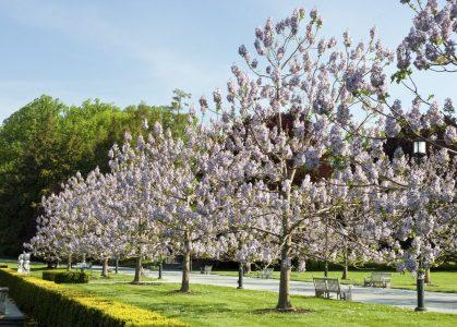 фото цветущего дерева павловнии войлочной